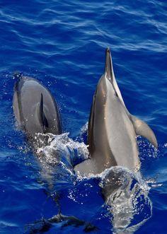 me-lapislazuli:Dolphins at Play by Hysazu