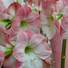 Hippeastrum hybrid  Pretty pink bloom with white striping.  Very strong grower.  Large spectacular trumpet shaped flowers in summer, followed by dark green strap foliage.  Hippeastrums are easy to grow in pots, containers or in clumps as a garden display.&nbsp%3...