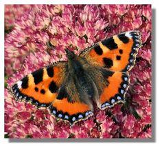 Butterflies of Scotland - Small Tortoiseshell Nature Reserve, Tortoise Shell, Butterfly, Illustration, Scotland, Animals, Animales, Animaux, Illustrations