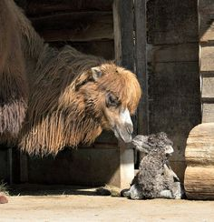 Nara, a female Bactrian Camel born on April 24 at Zoo Zurich