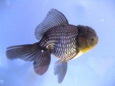 "Live Fancy Chinese Goldfish - 5"" Blue Oranda | eBay"