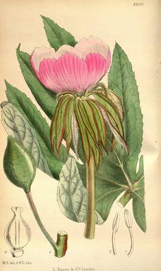 n76_w1150 | Curtis's botanical magazine.. London ; New York … | Flickr