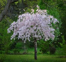 White Weeping Cherry tree. how cute is this. Front yard in front of my window?