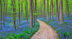 #1. Het Hallerbos in België. Vanaf eind April tot begin Mei wordt een aantal hectare bos bedekt met een tapijt van wilde blauwe hyacinten.
