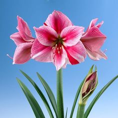 Amaryllis learn 2 #grow #amaryllis #hippeastrum http://www.growplants.org/growing/amaryllis