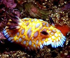 The Sea Slug Forum - Chromodoris roboi