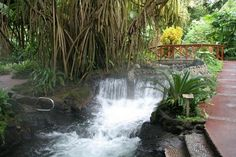 Walking Palms at Tabacon resort, Arenal volcano, Costa Rica