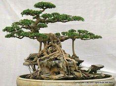 *Bonsai #bonsai