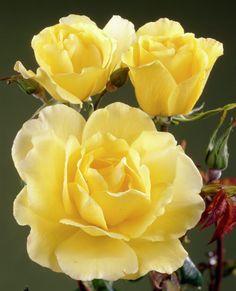 Rose 'Golden Showers' • Rosa 'Golden Showers' • Plants & Flowers • 99Roots.com