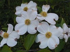 Virginia's state flower, American Dogwood; I have One in my back yard in Indiana to remind me of home.