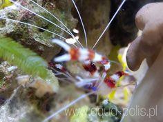 Shrimp, Coral, Meat, Food, Meals