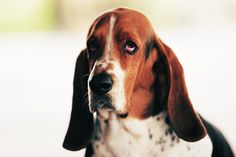 """Charlie.  Love this hound.  Belongs to """"the Pioneer Woman.""""  She can read his mind!"""