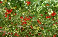 I WANT ONE!  :)  Italian Tree Tomato