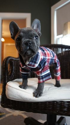 Blue frenchie in pj's #frenchie #frenchbulldog #puppy #cute