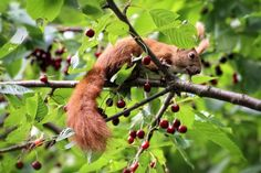 Squirrel on sour cherry tree Sour Cherry Tree, Animals And Pets, Cute Animals, Squirrel, Cute Pictures, Christmas Ornaments, Holiday Decor, Minden, Bunnies