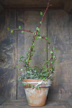 Creeping Wire Vine…the perfect little gift for wedding favors and special occasions.