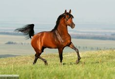 A very red blood bay horse - Arabian stallion - Equine Photography by Ekaterina Druz