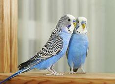 27 HQ Quality Cute Parakeet Photos