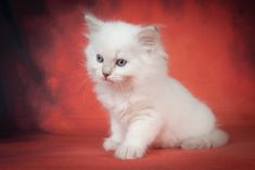 Gamora A Zwollywood Cat. Weeks old Ragdoll kitten. Lilac tabby colourpoint from the Guardians of the galaxy litter Persian Kittens, Cattery, Guardians Of The Galaxy, Lilac, Cats, Animals, Gatos, Animales, Animaux