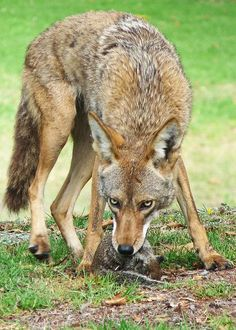 coyote with breakfast Predator Hunting, Coyote Hunting, Pheasant Hunting, Archery Hunting, Hunting Baby, Baby Wolves, Red Wolves, Coyotes, Maned Wolf