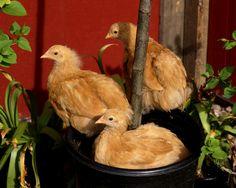 Ranch Farmgirl blog - Buff Orpington pullets