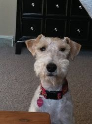 Molly is an adoptable Wire Fox Terrier Dog in Brooklyn Park, MN. MOLLY is located in MINNESOTA For more information email Kathy Lauer Good Golly, Miss Molly! Molly was found as a stray in the east . Wirehaired Fox Terrier, Fox Terriers, Wire Fox Terrier, Airedale Terrier, Terrier Dogs, Wire Haired Terrier, Brooklyn Park, Schnauzers, Dogs