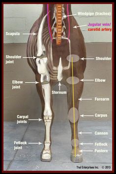 Here is another one of the Horse Side Vet Guide QUICK REFERENCE image. The Front Limb view and the idea of these images is just to provide. Horse Information, Horse Care Tips, Horse Anatomy, Horse Facts, Horse Camp, Animal Science, Large Animals, Horse Love, Show Horses