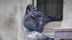 Kebun Binatang Higashima - Gaya Keren Shabani Bikin Kamu Klepek-klepek, Mirip…