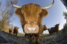 Highland cattle put on fenland to graze the marsh at Woodwalton Fen nature reserve - a Special Area of Conservation in Cambridgeshire Highland Cattle, British Wildlife, Great British, My Heritage, Nature Reserve, Zoo Animals, British Isles, Four Legged, Country Life