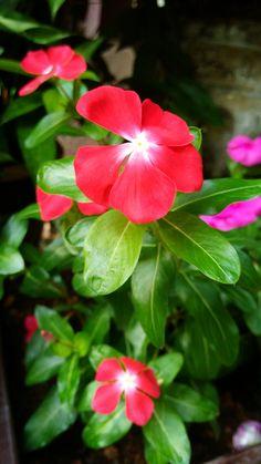 Tapak Dara @ Vinca Periwinkle Flowers, Beautiful Flowers, Rose, Plants, Daisy, Bonito, Backgrounds, Flowers, Pink