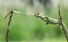 Tongue lashing:A veiled chameleon captures a tasty dragonfly with its extralongtongue