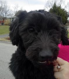 Adopt Buddy On Recipes To Cook Dogs Poodle Animals