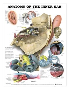 inner ear...that's why you don't stick a cotton swab in there!  it's pretty complex in there...