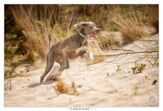 Nica, my Slovakian Rough Haired Pointer in action