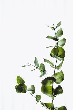 Botanical Wall Art Eucalyptus Print Leaf Poster Fine Art Minimalist Plant P – Mint Plant Images, Plant Pictures, Leaf Images, Wall Pictures, Nature Pictures, Beautiful Pictures, Gravure Illustration, L Eucalyptus, Plant Background