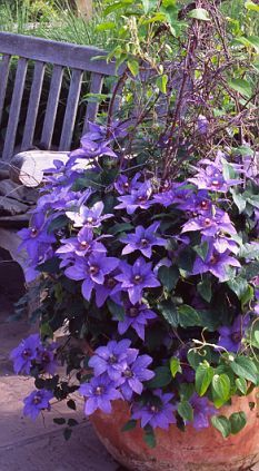 Clematis in containers  Look at this beautiful Clemetis in a pot...Never thought of putting clematis in pots...cool idea!
