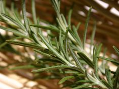 What is rosemary? What are the useful properties found in rosemary? What are the benefits of rosemary for holistic health. Growing Mint, Growing Herbs, Herb Spiral, Rosemary Tea, Rosemary Recipes, Herb Garden Design, Beneficial Insects, Leaf Coloring, Formal Gardens