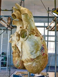 Preserved 440-Pound Blue Whale Heart