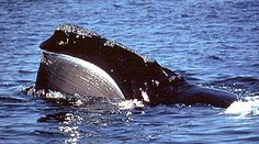 4.8.13 - Why Cape Cod Bay is Critical for Right Whales - Right Whale Listening Network