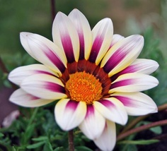 White and Purple Gazania