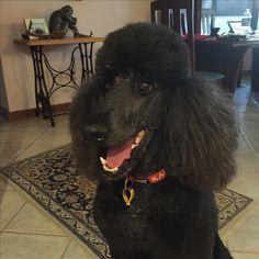 My happy Standard Poodle boy Kai