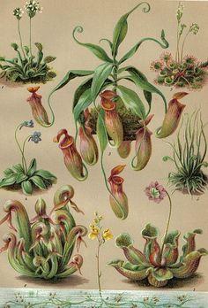 Artist Unknown - Carnivorous Plants, 1903