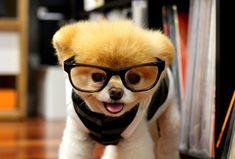 Boo the Dog Models Eyewear for Monocle Order #niciasonoki #puppiesandco