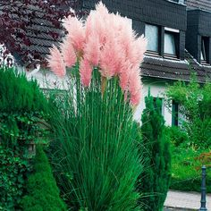 Cortaderia selloana 'Pink Feather' is an unusual pampas grass that has the most attractively light and fluffy plumes of feathery pink flowers. As with most ornamental grasses, this is something for the garden during late summer through autumn, when it Beautiful Gardens, Beautiful Flowers, Grass Seed, Ornamental Grasses, Tall Grasses, Perennial Grasses, Dream Garden, Garden Inspiration, Backyard Landscaping