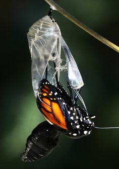 All of Nature: Monarch Butterfly Emerging From Chrysalis Butterfly Cocoon, Butterfly Chrysalis, Monarch Butterfly, Beautiful Bugs, Beautiful Butterflies, Metamorphosis Art, Butterfly Life Cycle, Butterfly Drawing, Butterfly Kisses