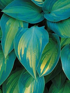 Gardener's Guide to Hostas 'June' Golden-yellow foliage with streaky blue-green edges. Moderate in size @ purple flower. Golden-yellow foliage with streaky blue-green edges. Moderate in size @ purple flower. Shade Garden, Garden Plants, House Plants, Hosta Plante, Hosta Varieties, Winter Plants, Hardy Perennials, Plantation, Secret Gardens