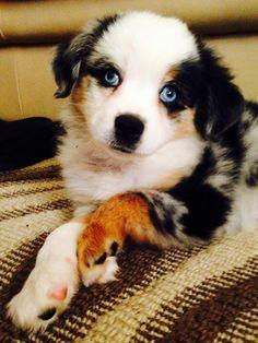 aussie puppy!!