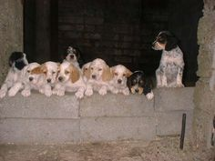 English Setter Puppies for Sale | to english setter puppies for sale wisconsin english setter puppies ...
