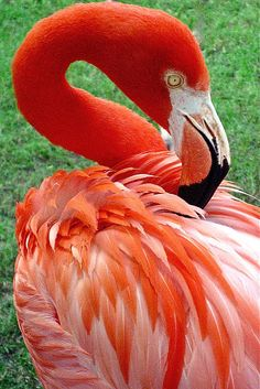 Portrait of a Scarlet Flamingo by Venetia Featherstone-Witty Wild Animal Wallpaper, Flamingo Wallpaper, Flamingo Pictures, Bird Pictures, Animals Of The World, Animals And Pets, Beautiful Birds, Animals Beautiful, Flamingo Bird