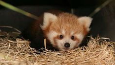For the first time in Zoo Planckendael's history, a baby Red Panda has been born! The timid little new born is difficult to spot, but if you're lucky, you'll catch him scampering from one nest box to another under the. Red Panda Cute, Panda Love, Baby Animals Pictures, Cute Baby Animals, Mammals, Panda Bears, Raccoons, Hedgehogs, Squirrels